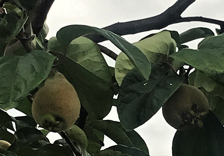 quince fruit on the tree in summer